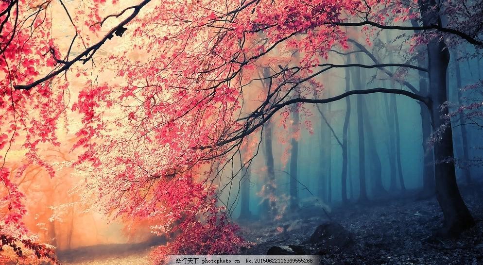 枫树林 树林 森林 枫树叶 唯美 红色 电脑桌面屏保 摄影 生物世界
