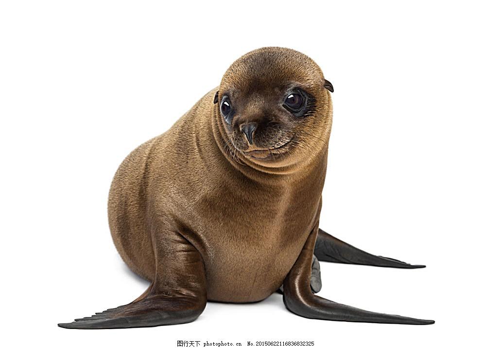 可爱的海狮 动物 动物世界 动物摄影 陆地动物 生物世界 图片素材