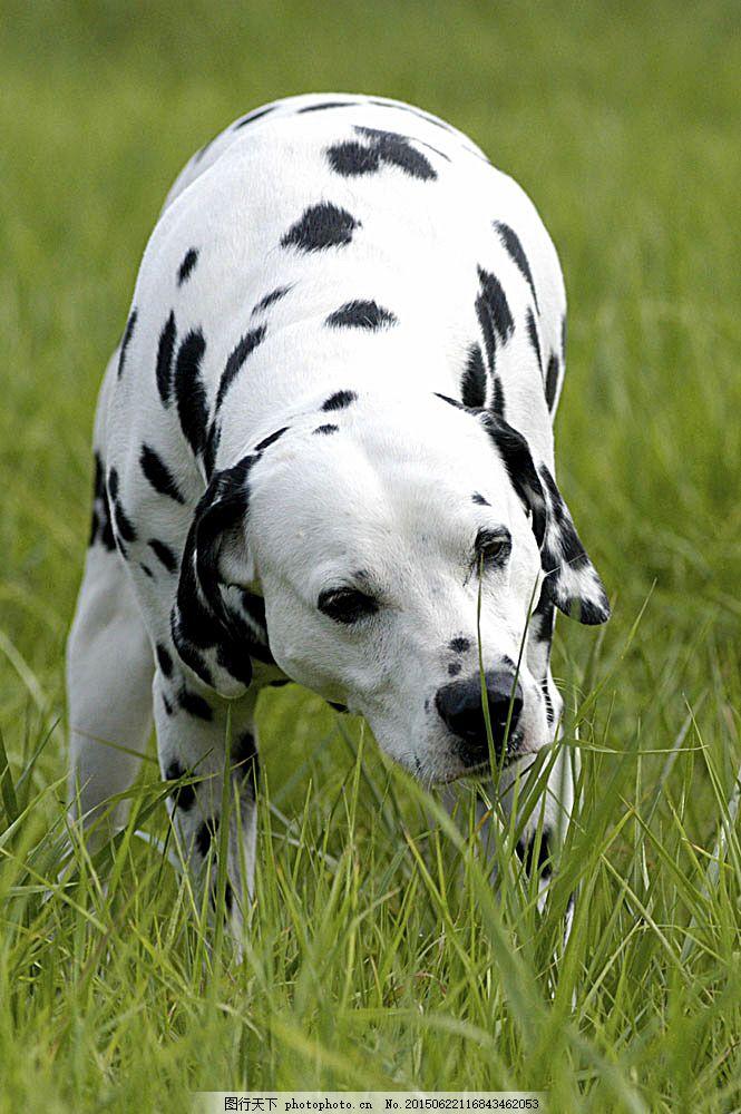 斑点狗 宠物 可爱小狗 名贵 犬种 动物世界 宠物摄影 陆地动物 生物