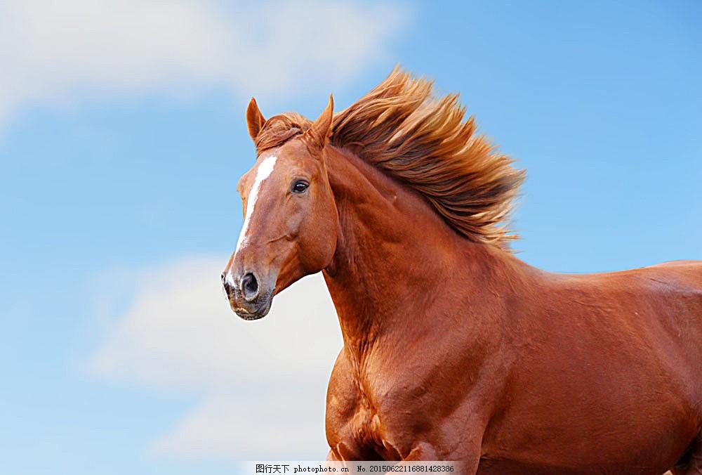 一匹骏马 生物世界 动物世界 野生动物 陆地动物 图片素材 青色