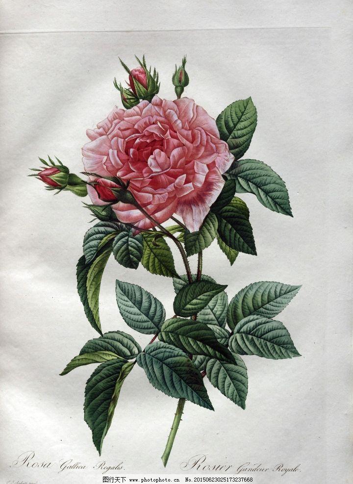 一支玫瑰花图片_花草_生物世界
