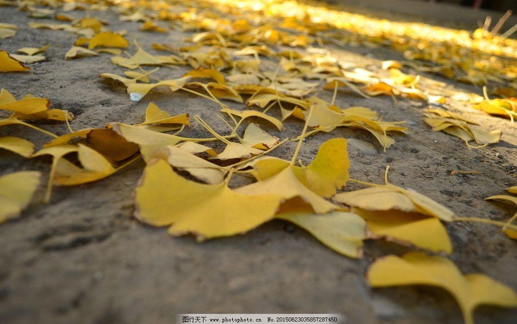 银杏 银杏树 金黄银杏 深秋 秋季 摄影 生物世界 树木树叶 300dpi jpg