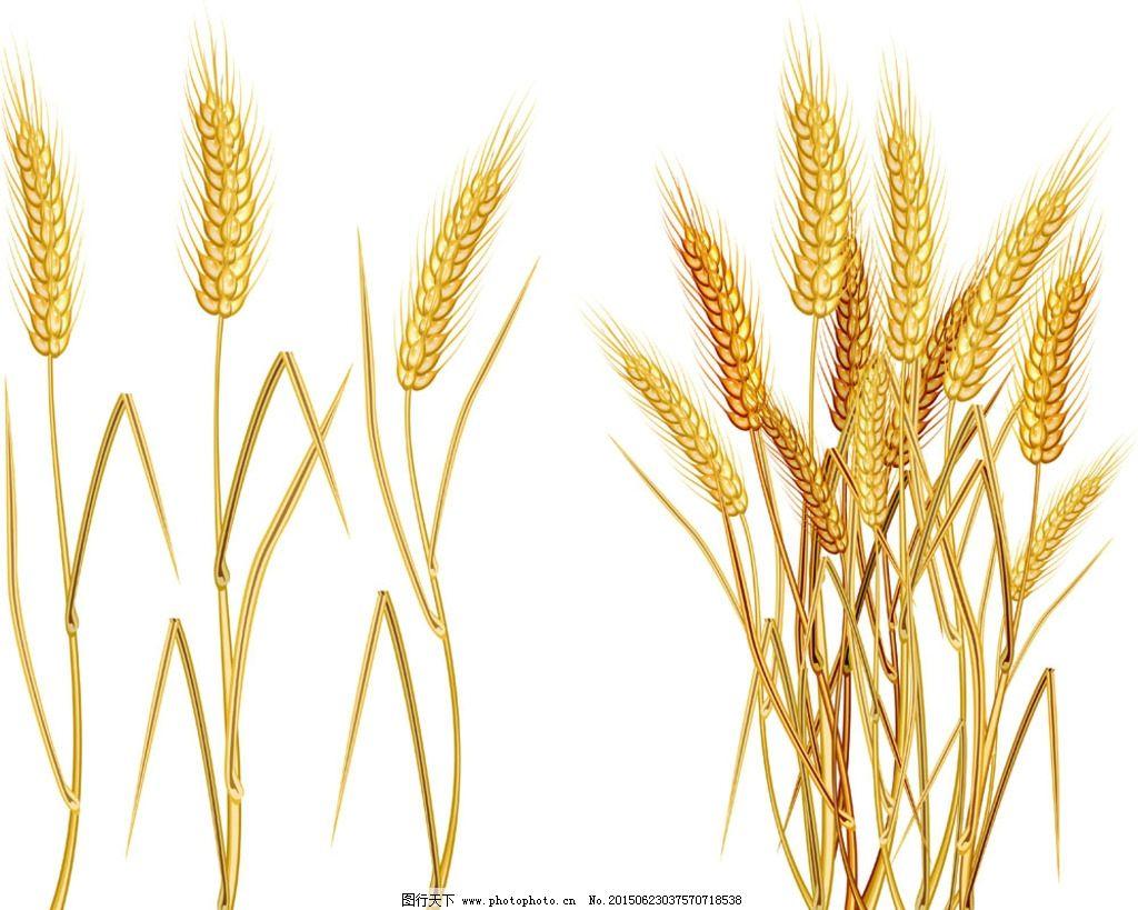 黄金麦穗图片