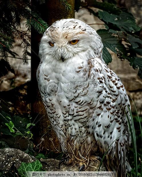 雪鸮 猫头鹰 鸟 动物 羽毛 猛禽 白 夜间活动 动物的记录     红色 jp