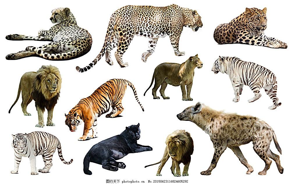 猫科动物 豹子 老虎 驼骆 动物 陆地动物 野生动物 动物世界 动物摄影