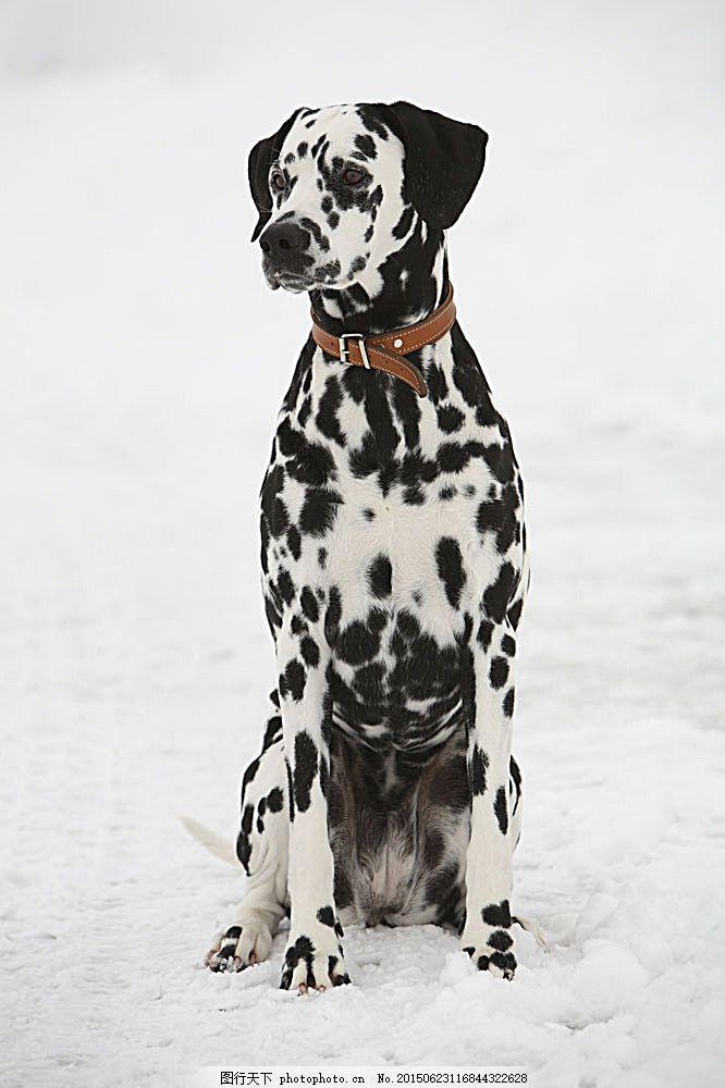 斑点狗 宠物狗 犬 小狗 动物世界 陆地动物 生物世界 图片素材