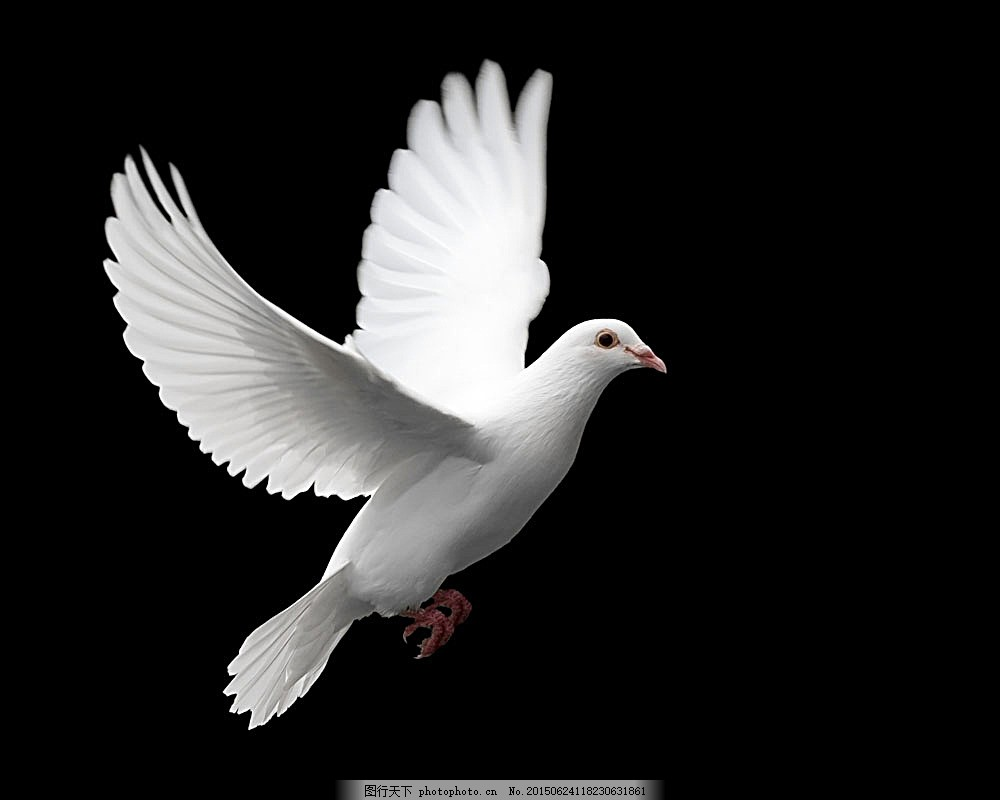 黑色背景下的鸽子 白色鸽子 飞着的鸽子 鸟 飞行动物 自然风景