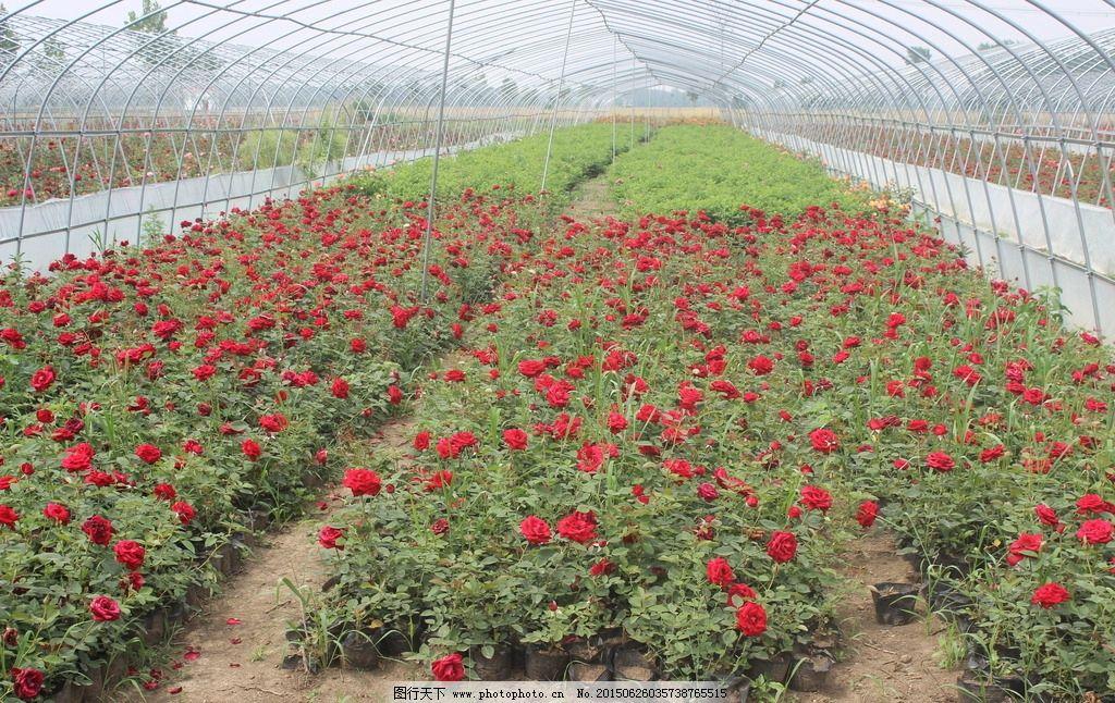 植物花园图片,玫瑰花种植 月季花种植 种植基地 玫瑰