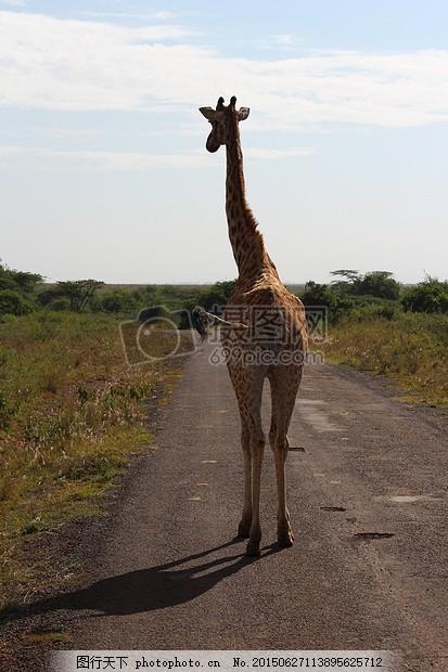 长颈鹿 路 非洲 萨凡纳 野生动物园 行程 黑色