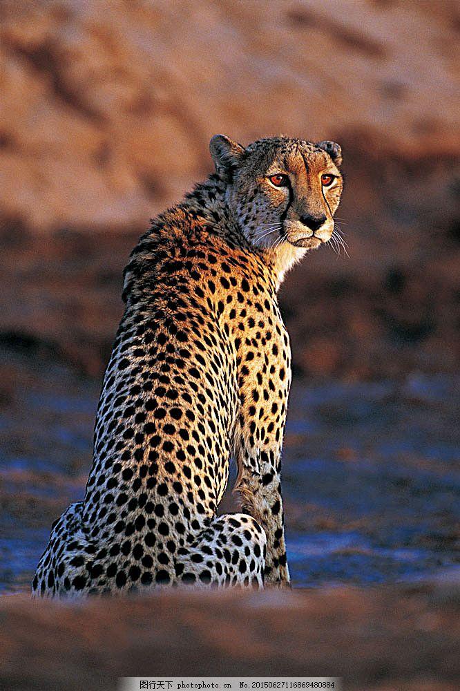 金钱豹子 野生动物 动物世界 哺乳动物 猎豹 摄影图 陆地动物