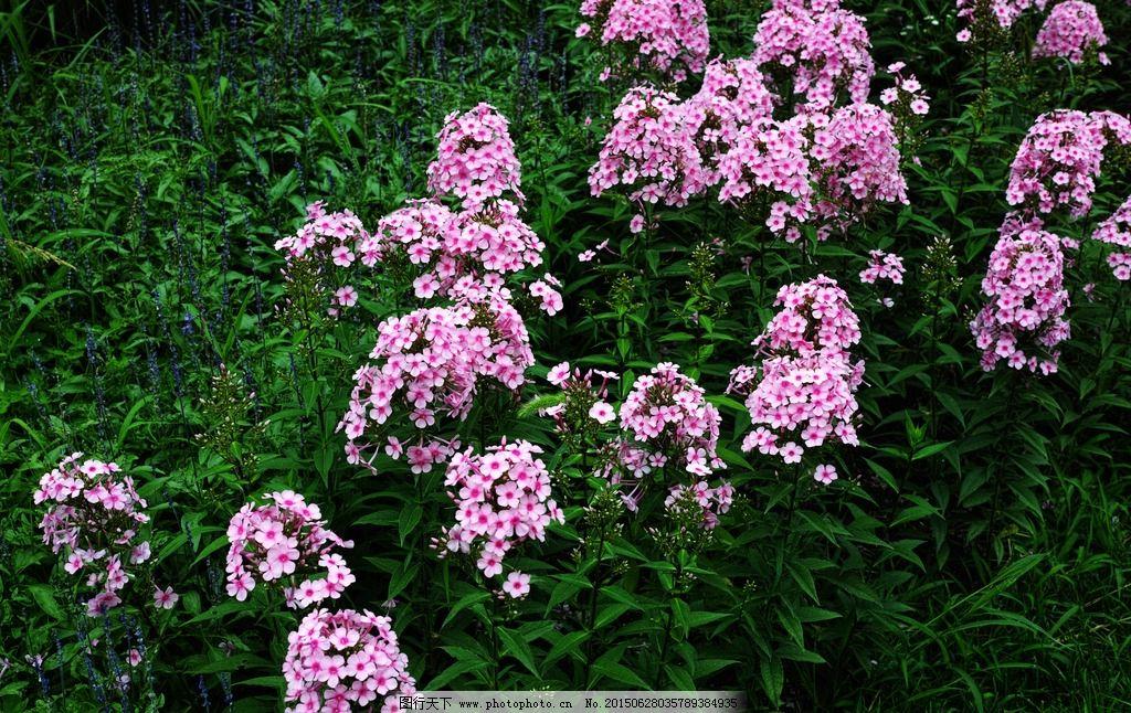 植物 花卉 花 自然 自然世界 生物世界 大自然 四季 季节 美女樱 摄影