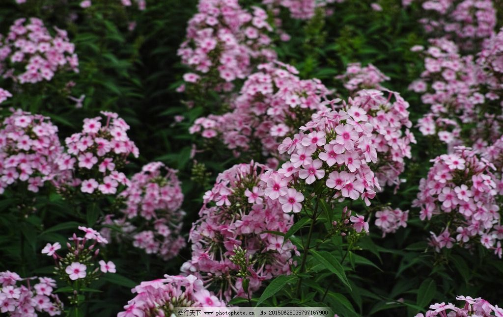 美女樱 植物 花卉 自然 自然世界 大自然 四季 季节 摄影