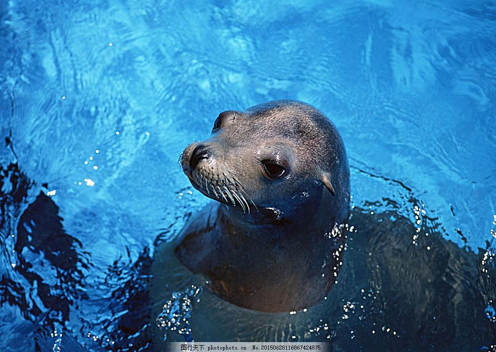 海豹 动物世界 生物世界 海底生物 海洋生物 野生动物 大海 水中生物