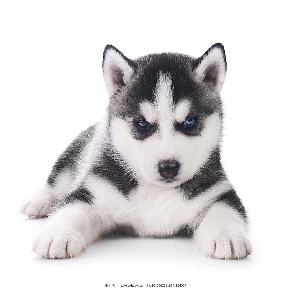 黑白色的狗 家宠动物 动物世界 陆地动物 生物世界 图片素材