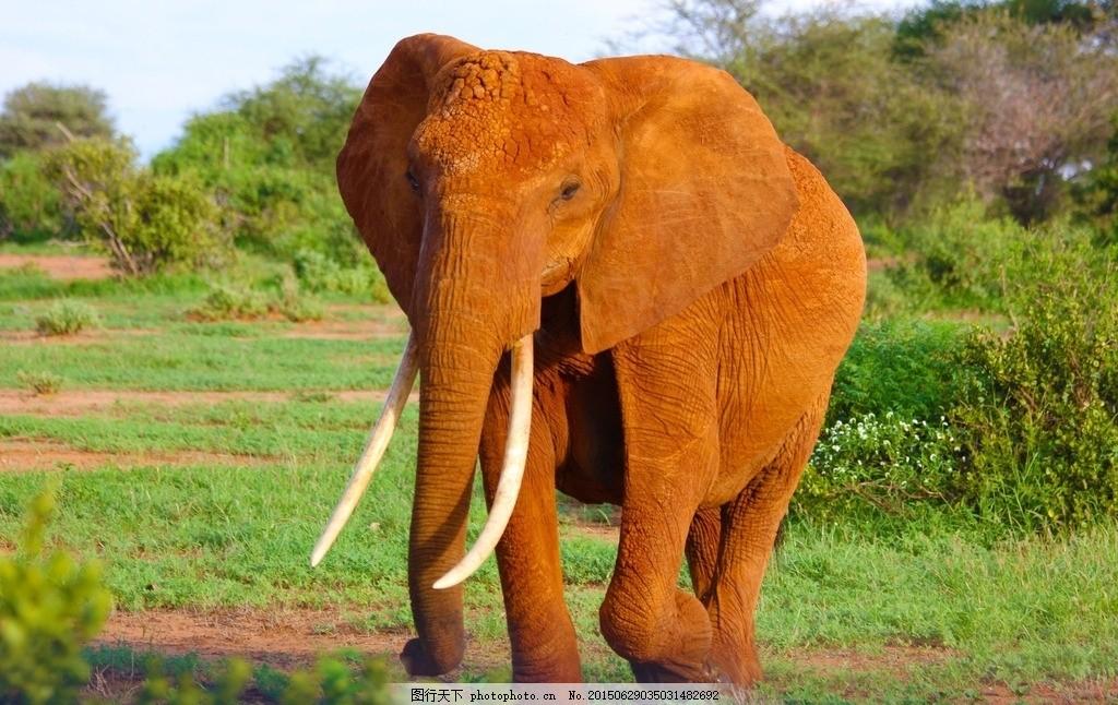 非洲大象 野生大象 非洲象 草原 野草 草地 行走 野生动物 动物