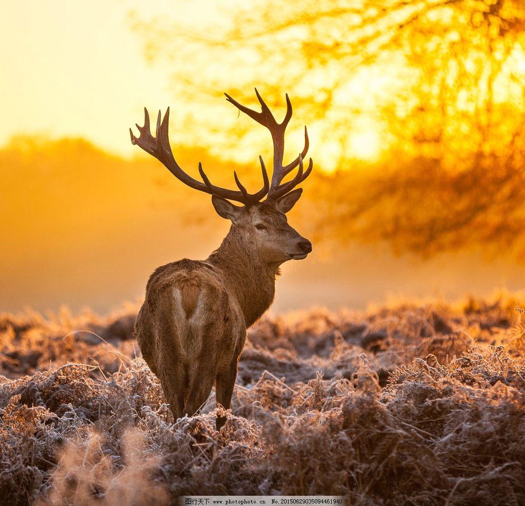 麋鹿图片_野生动物_生物世界_图行天下图库