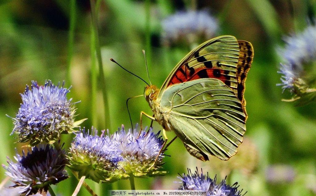 蝴蝶 春天 植物 油菜花 绿色 蓝色 黑色 微距 动物 绿色蝴蝶