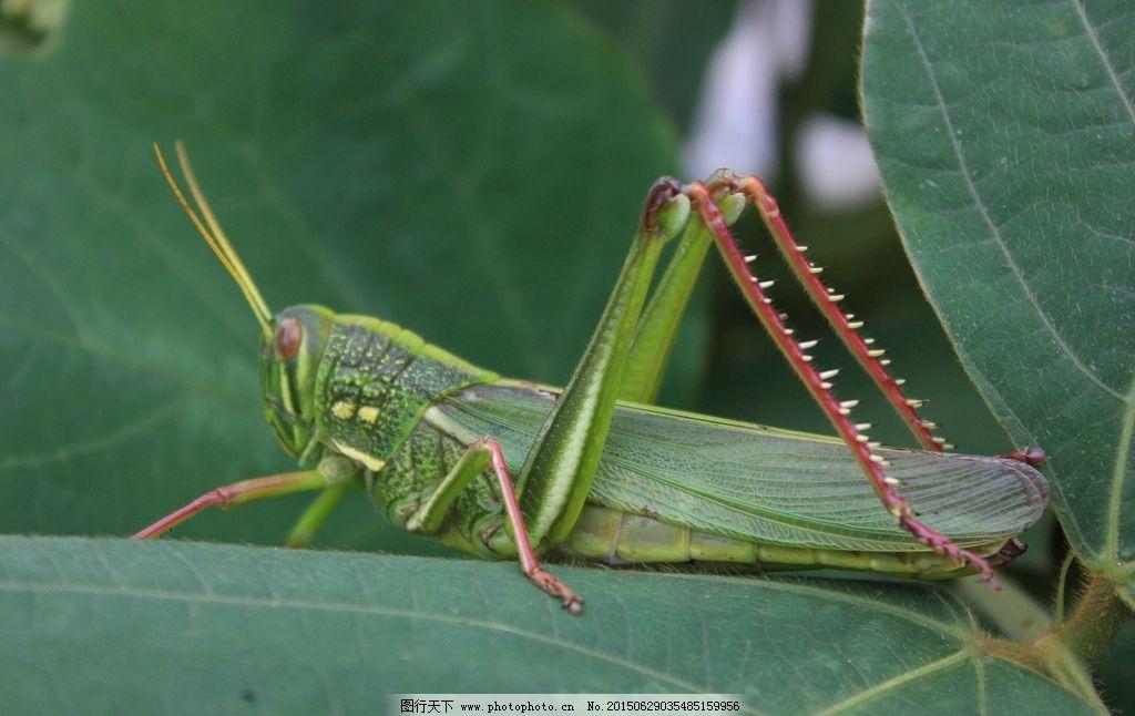 绿叶 大蝗虫 触角 大后腿 强壮 生物世界 摄影 生物世界 昆虫 72dpi