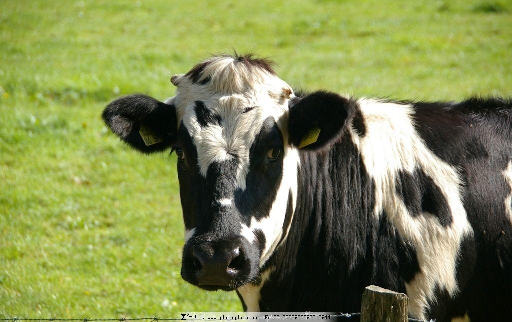 奶牛 动物 大自然 斑点 养牛 母牛 农场 草原 老牛 吃草的牛