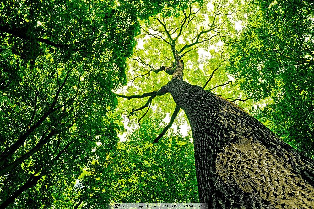 参天大树摄影 树叶 植物 树林 森林 公园 景区 自然风光 自然景观