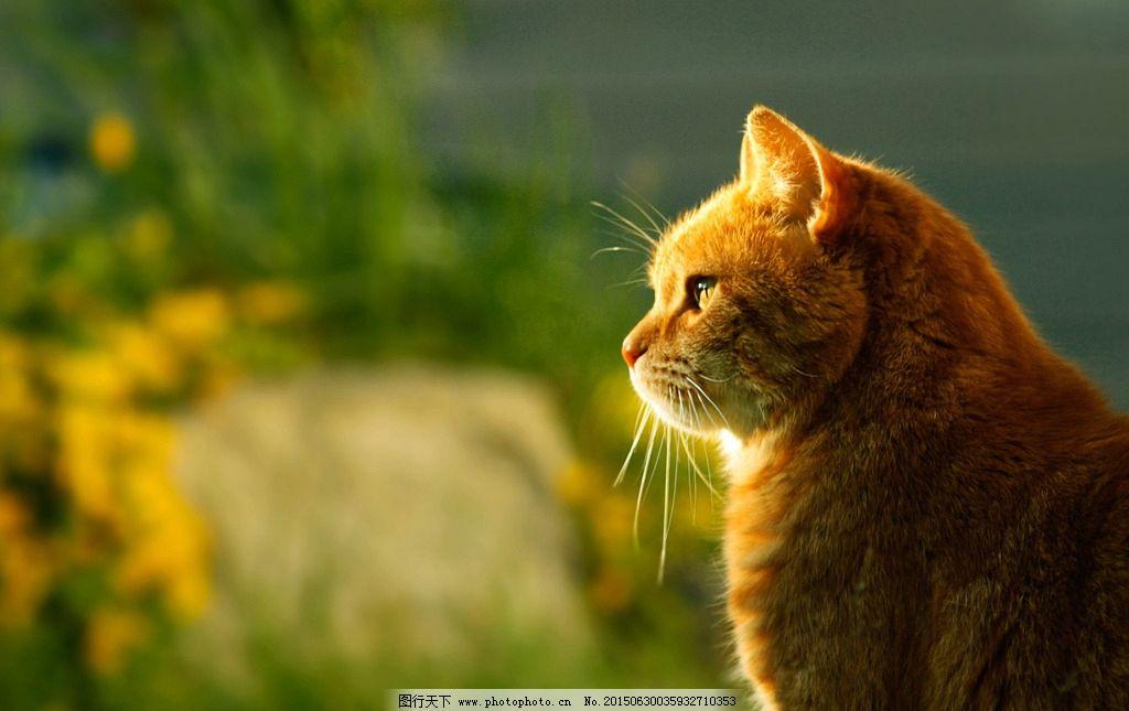 小猫 小黄猫 逆光 动物摄影 电脑桌面背景 可爱 卡哇伊 摄影 生物世界