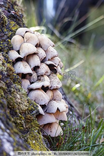 蘑菇 群集 菌类 自然 集团 森林 特写 增长 小 有毒 灰色