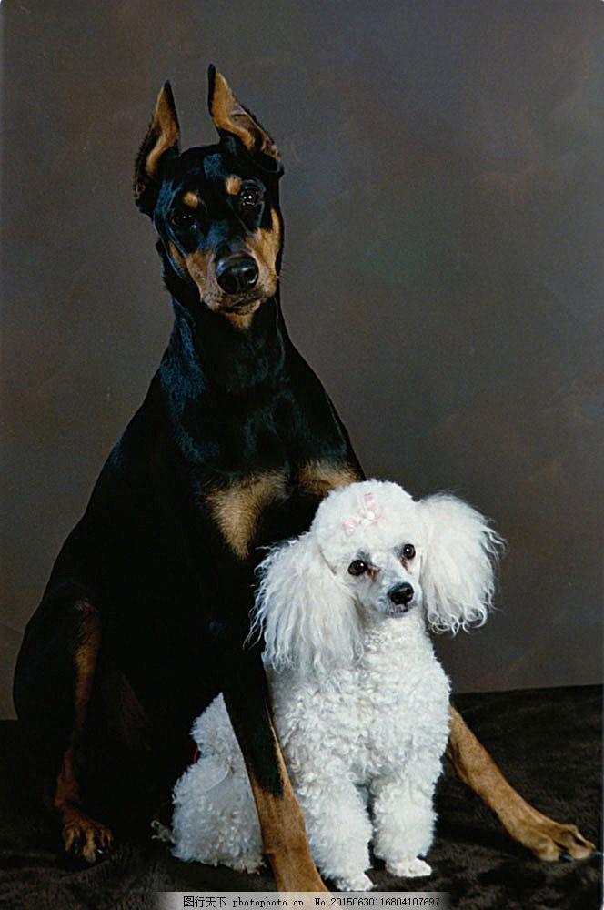黑白狗摄影 狗 宠物狗 狗素材 宠物 宠物摄影 动物 动物世界 可爱动物